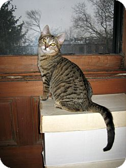 Domestic Shorthair Kitten for adoption in Brooklyn, New York - TUESDAY