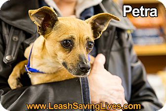 Chihuahua Mix Dog for adoption in Pitt Meadows, British Columbia - Petra