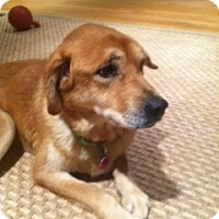 Adopt A Pet :: Tallelah - Foster, RI
