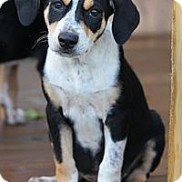 Adopt A Pet :: *Duffy - PENDING - Westport, CT