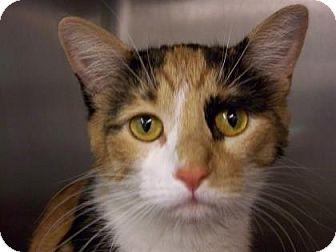Domestic Shorthair Cat for adoption in Westville, Indiana - Ladybug