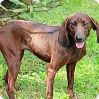 Adopt A Pet :: CHARMING COCO - Franklin, TN