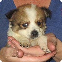 Adopt A Pet :: Olivia - Allentown, PA