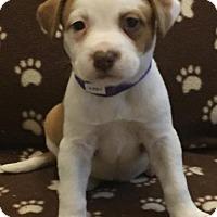 Adopt A Pet :: Peep - Royal Palm Beach, FL