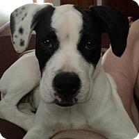 Adopt A Pet :: Mila - Columbia, MD