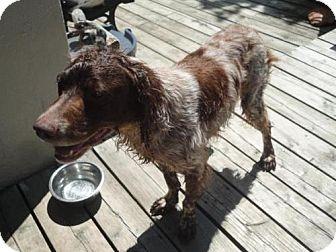 Brittany Dog for adoption in WOBURN, Massachusetts - ON/Rusty O'Fallon