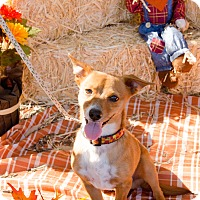Chihuahua Mix Dog for adoption in Phoenix, Arizona - PRINCE