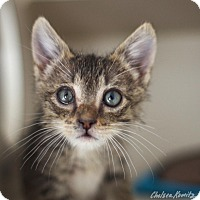 Domestic Shorthair Kitten for adoption in Canyon Country, California - Terrence