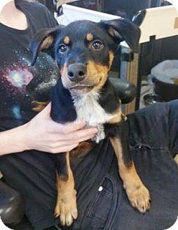 Australian Cattle Dog Mix Puppy for adoption in Chicago, Illinois - Shino