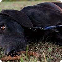 Adopt A Pet :: Stillman - Cincinnati, OH