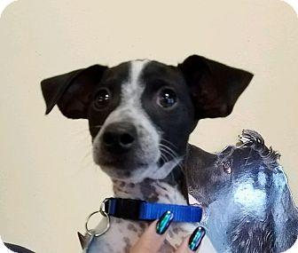 Miniature Pinscher Mix Puppy for adoption in Thousand Oaks, California - Clyde