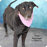 Adopt A Pet :: TINA - Conroe, TX