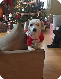 Bichon Frise Dogs For Adoption In Ma