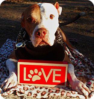Pit Bull Terrier/Mixed Breed (Medium) Mix Dog for adoption in Tucson, Arizona - Gypsy