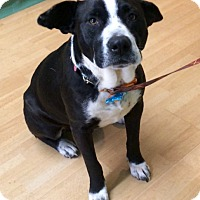 Adopt A Pet :: Susie in CT - Manchester, CT