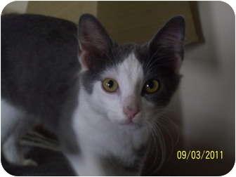 Siamese Kitten for adoption in Cleveland, Ohio - Jonathon