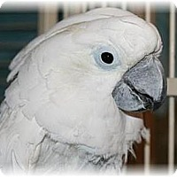 Cockatoo for adoption in Northbrook, Illinois - Baby 1