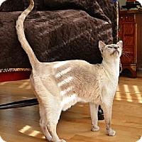 Adopt A Pet :: Thaicoon - Davis, CA
