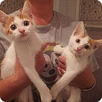 Adopt A Pet :: Butterscotch and Carmel - Troy, OH