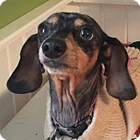 Adopt A Pet :: Cookie - Marcellus, MI
