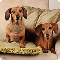Adopt A Pet :: Eddie - Henderson, NV