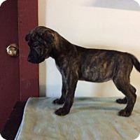 Adopt A Pet :: Bailey - Aurora, CO