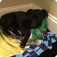 Adopt A Pet :: Petunia - Matthews, NC