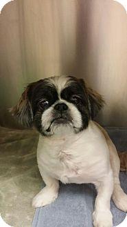 Pekingese Mix Dog for adoption in Fort Myers, Florida - Jorden