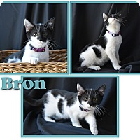Adopt A Pet :: Bron - Colorado Springs, CO