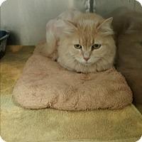 Persian Cat for adoption in Muskegon, Michigan - nala