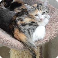 Adopt A Pet :: Annabelle - San Angelo, TX