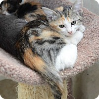 Calico Kitten for adoption in San Angelo, Texas - Annabelle