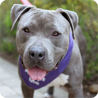 American Pit Bull Terrier Dog for adoption in Pacific Grove, California - Tank