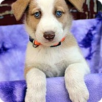 Adopt A Pet :: Willow - Westminster, CO