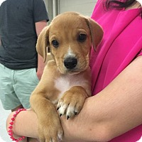 Adopt A Pet :: Taco-Lexi's Pup - Cumming, GA