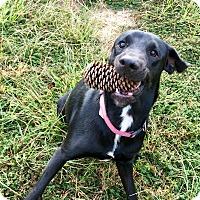 Adopt A Pet :: PIXIE - Cranston, RI