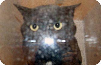 Domestic Shorthair Cat for adoption in Wildomar, California - 316460