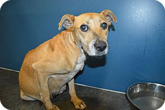 Labrador Retriever/Shepherd (Unknown Type) Mix Dog for adoption in Henderson, North Carolina - Betty (pregnant)