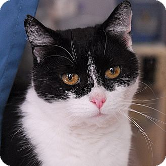 Domestic Shorthair Cat for adoption in Winchendon, Massachusetts - Catalina