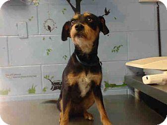 Terrier (Unknown Type, Small) Mix Dog for adoption in San Bernardino, California - URGENT on 11/8 SAN BERNARDINO