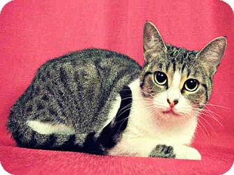 American Shorthair Cat for adoption in Sugar Land, Texas - *ADELAIDE