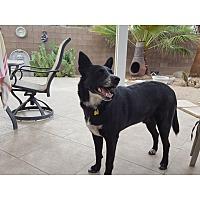 Border Collie Mix Dog for adoption in Tempe, Arizona - Hershel