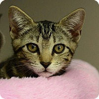 Domestic Shorthair Kitten for adoption in West Palm Beach, Florida - Gigi