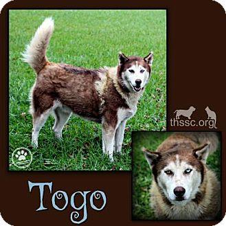 Husky Mix Dog for adoption in Sullivan, Indiana - Togo