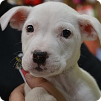 American Bulldog Mix Puppy for adoption in Fort Collins, Colorado - Scary Spice (FORT COLLINS)