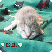 Adopt A Pet :: Oil - Batesville, AR