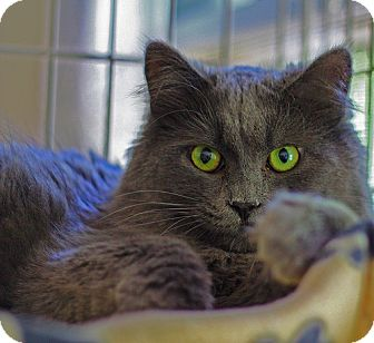 Domestic Mediumhair Cat for adoption in Lombard, Illinois - Nala
