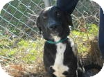 Labrador Retriever Mix Dog for adoption in East Hartford, Connecticut - Prancer in Ct
