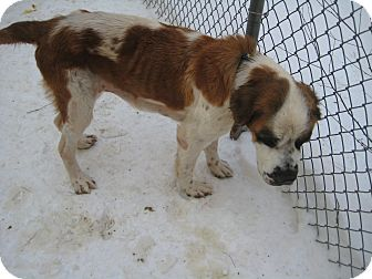 St. Bernard Dog for adoption in Sudbury, Massachusetts - SHILOH
