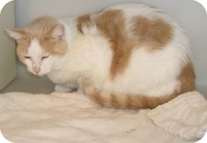 Domestic Shorthair Cat for adoption in Geneseo, Illinois - Taffy